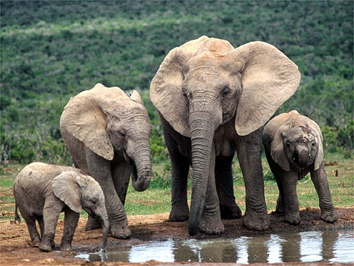 Your Signature to Stop the Extinction of Elephants